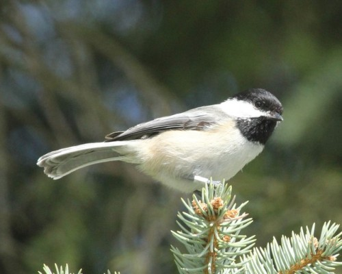 Banded Black-capped Chickadee in the yard at the BBBO House. Photo by Kathy Habgood