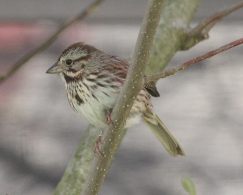 Banded Song Sparrow Photo by Kathy Habgood