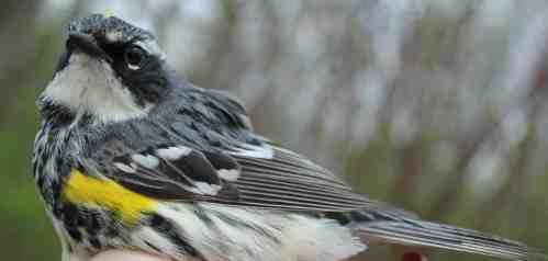 First Yellow-rumped Warbler of the Season Photo by Kathy Habgood