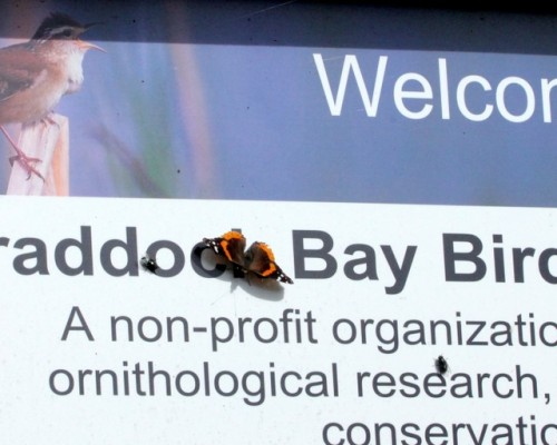 Red Admirals Everywhere!                   Photo by Kathy Habgood