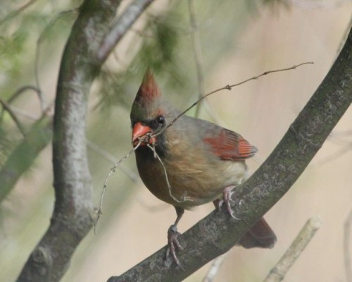 Female Northern Cardinal carrying nesting material. Photo by Kathy Habgood