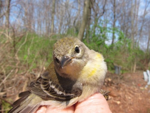 SY-Female Pine Warbler.        Photo by Peggy Keller