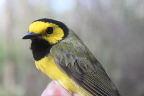 ASY-Male Hooded Warbler.  Photo by Ryan Kayhart