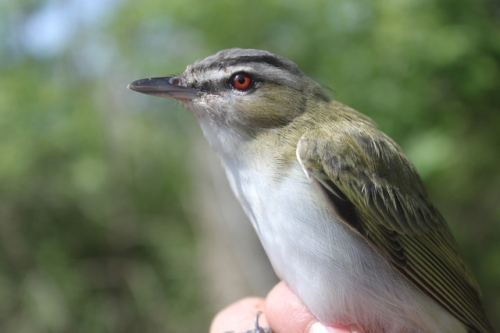 Red-eyed Vireo.  Photo by Ryan Kayhart