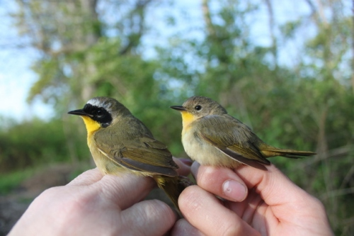 Male and Female Common Yellowthroats.  Photo by Ryan Kayhart