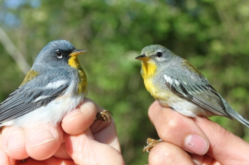 Northern Parula Warblers.  Photo by Ryan Kayhart