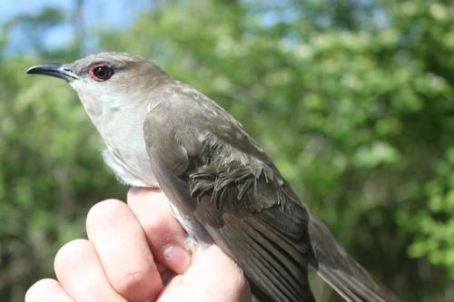 Black-billed Cuckoo.  Photo by Ryan Kayhart