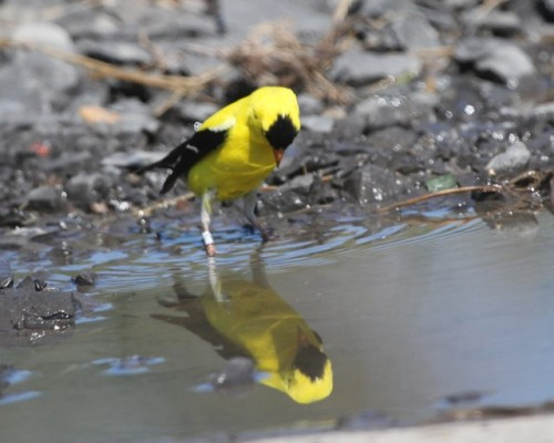 Adult Male American Goldfinch Admiring the Reflection of His Band!!!Photo by Kathy Habgood