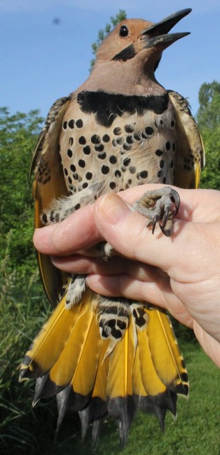 Yellow-shafted Flicker Banded at the Kaiser MAPS Station.  Photo by Kathy Habgood
