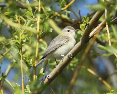 Banded Warbling VireoPhoto by Kathy Habgood