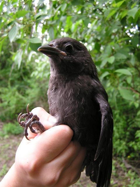 fledgling grackle - photo #44
