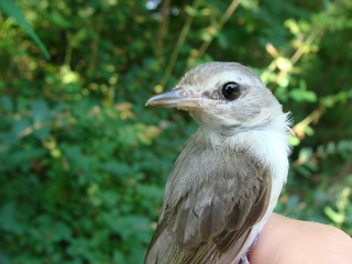 HY Warbling Vireo Photo by Samantha Gonzalez