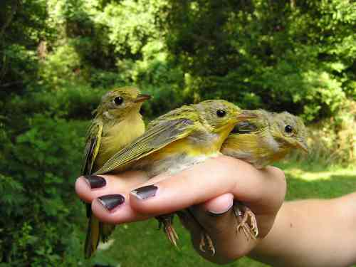 Yellow Warbler fledglings. They have all been banded, and are being returned together to the net location where they were captured.  This is routine with birds still in their juvenile plumage; the titmouse pictured above was returned as well. Photo by Andrea Patterson