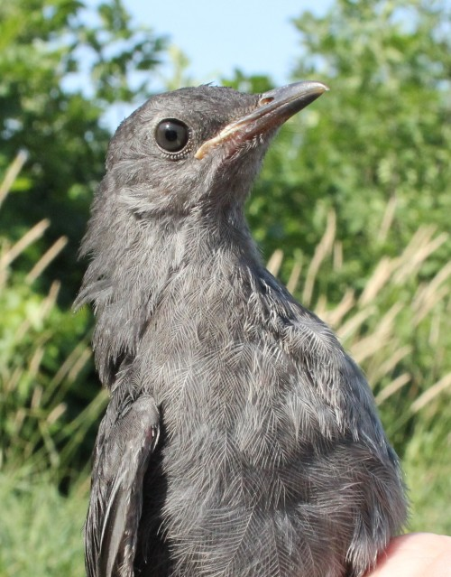 Hatching Year Gray CatbirdPhoto by Kathy Habgood