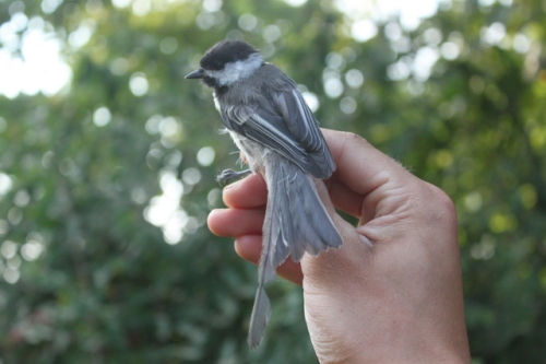 HY Black-capped Chickadee.  Look at the length of the (still-growing) central tail feather!!! Photo by Ryan Kayhart