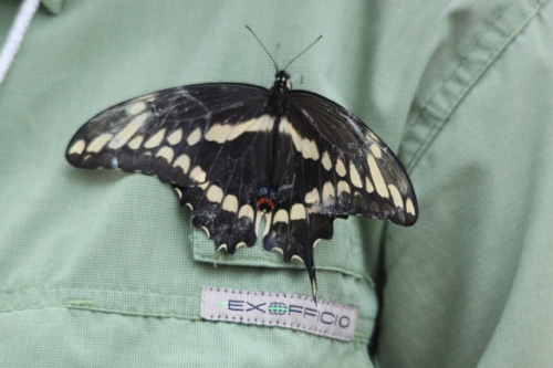 Giant Swallowtail Photo by Ryan Kayhart