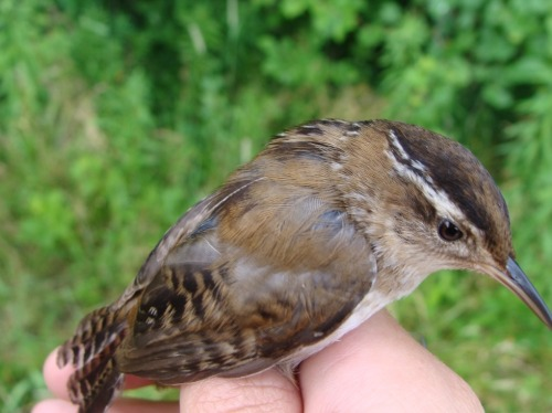 Adult female Marsh Wren captured on the marsh trail Photo by Samantha Gonzales