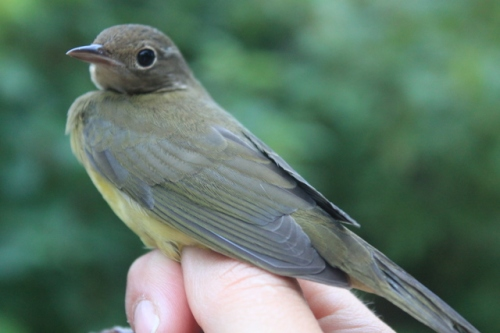 Third Connecticut Warbler of the Fall 2012 SeasonPhoto by Ryan Kayhart