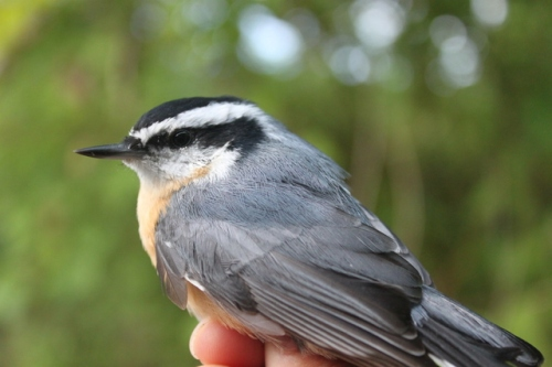 HY Male Red-breasted NuthatchPhoto by Ryan Kayhart