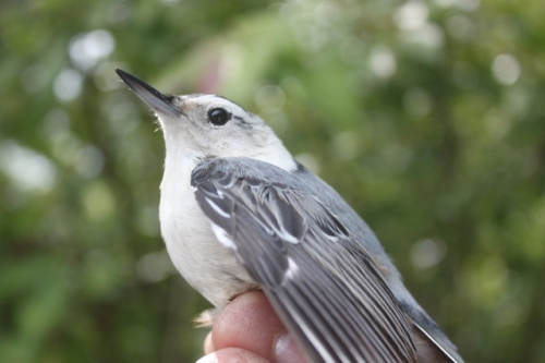 Sleek Hatching-year Female White-breasted NuthatchPhoto by Ryan Kayhart
