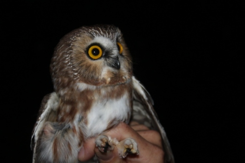 Saw-whet #5 of the Night!Photo by Ryan Kayhart