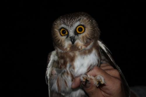 First Northern Saw-whet Owl of the Season!Photo by Ryan Kayhart