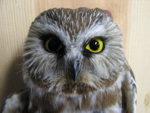First Northern Saw-whet Owl of the Spring Season