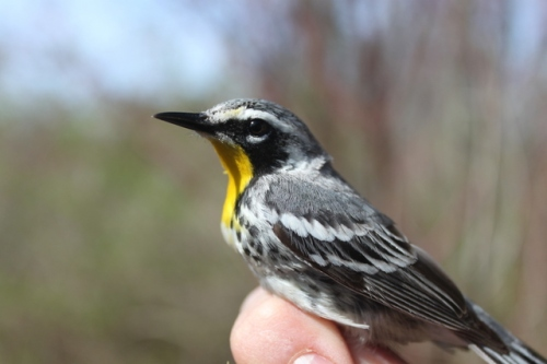 SY-F Yellow-throated Warbler.  Photo by Ryan Kayhart