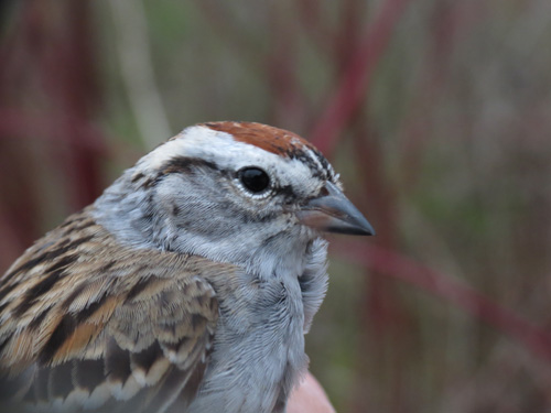 Chipping Sparrow Banded Today  Photo by Jon Dombrowski