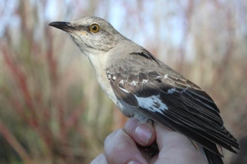 SY-U Northern Mockingbird.  Photo by Ryan Kayhart