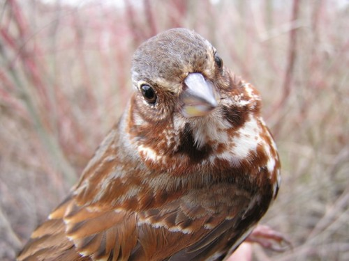 This handsome Fox Sparrow was a delightful treat for our new banders!