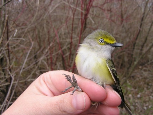 "A stunning White-eyed Vireo.  He isn't exactly ""cute,"" but he does grab your attention!"