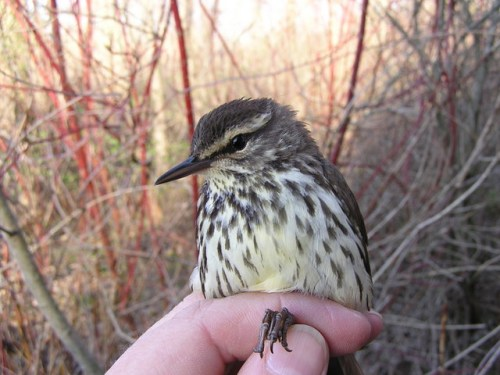 The first Northern Waterthrush of the spring.