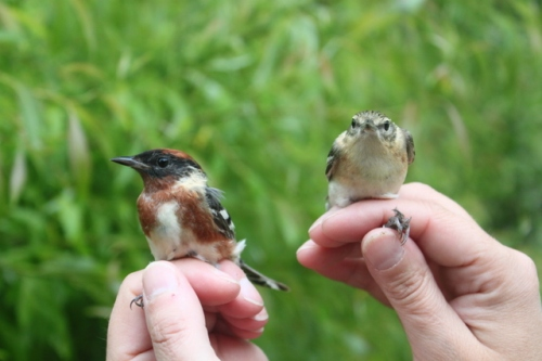 Male and female Bay-breasted Warblers.  Photo by Ryan Kayhart.