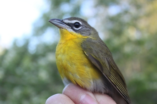 Female Yellow-breasted Chat.  Photo by Ryan Kayhart.