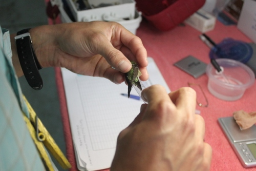 Measuring a hummingbird's tail before sending her off. Photo by Betsy Brooks.