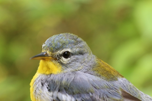 Female Northern Parula Photo by John Waud