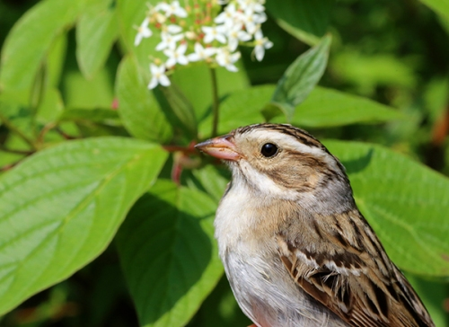 New Species - Clay-colored Sparrow Photo by John Waud