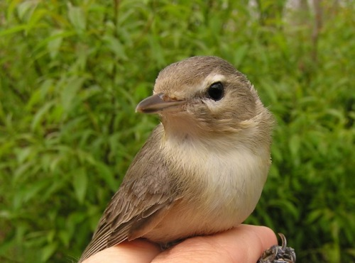 The first (albeit recaptured) Warbling Vireo of the spring