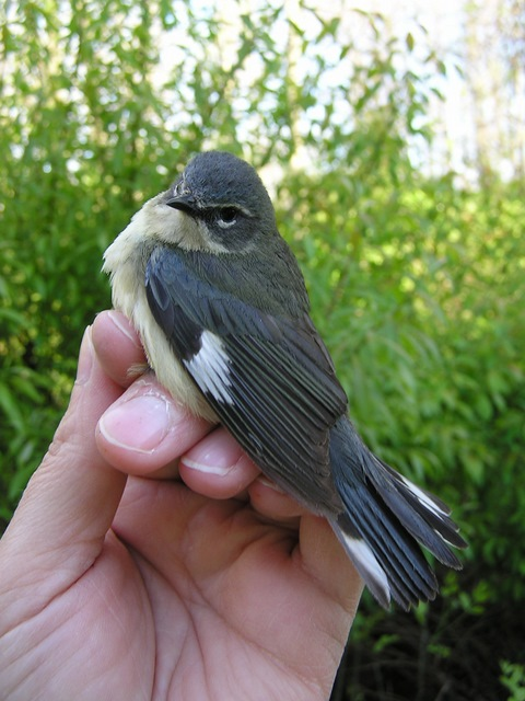 After-second year female Black-throated Blue Warbler