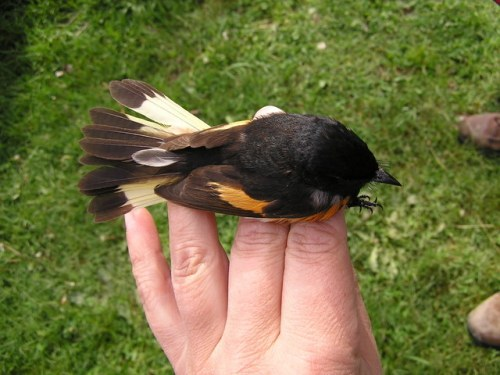 A second American Redstart with an unusual tail