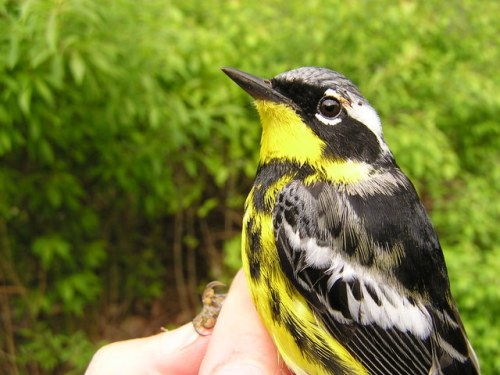 A gorgeous after-second year male Magnolia Warbler.