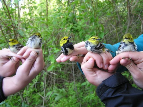 Five Black-throated Green Warblers caught at one time in two nets.  Gorgeous!