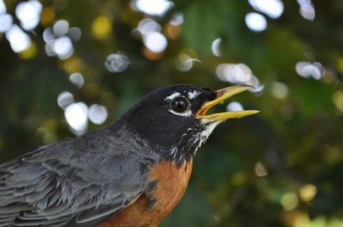 American Robin. Photo by Tom Kotzbach