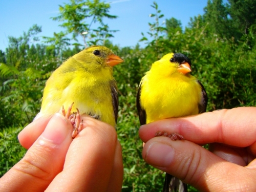 Pair of American Goldfinch