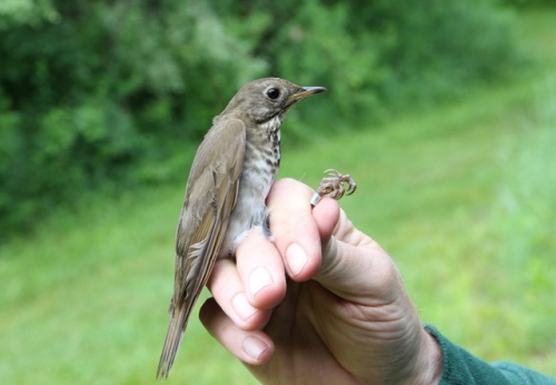This Gray-cheeked Thrush was banded on 6/9, which is getting pretty late for this species.  They breed in northern Canada, so he (or she!) still has a long trip before nesting.