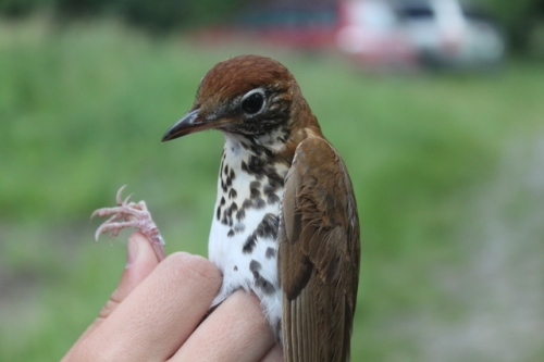 Wood Thrush banded at Dead Creek.  Photo by Ryan Kayhart