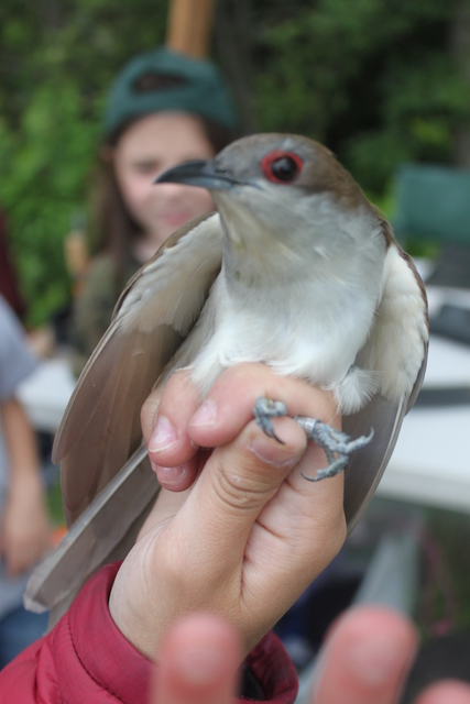Black-billed Cuckoo showing bright red orbital ring.  Photo by Ryan Kayhart