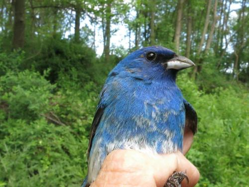 Indigo Bunting Male Photo by Margaret Keller