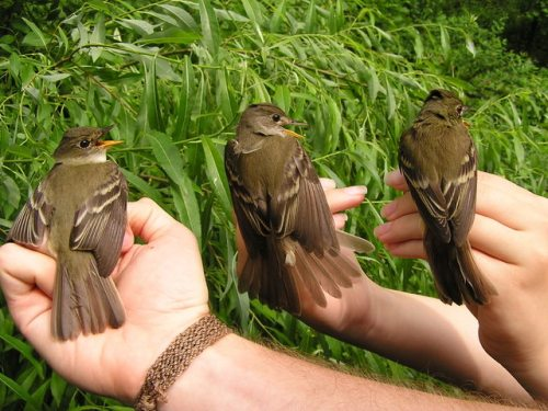 Three probable Willow Flycatchers, showing a gradation of color from lighter to darker.